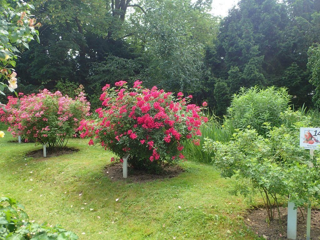 Baden festival ruží
